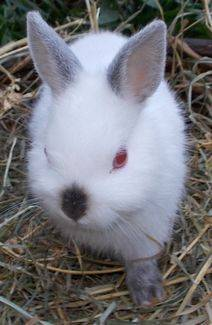 buy a rabbit in illinois white netherland dwarf