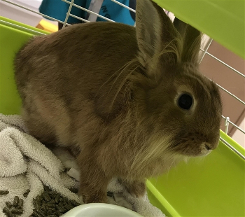 adopt a rabbit in Alabama Peaches