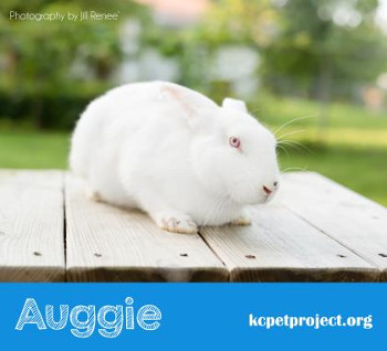 buy a rabbit in Kansas Auggie
