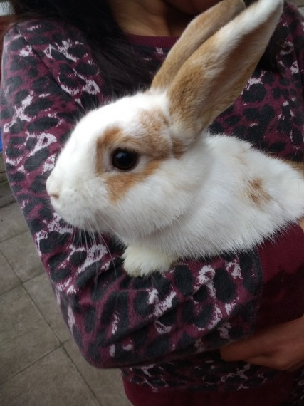 buy a rabbit in birmingham Dwarf Lop england 2