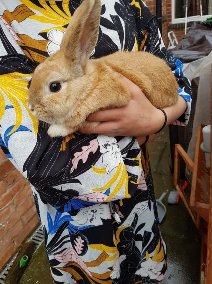 buy a rabbit in birmingham Dwarf Lop england