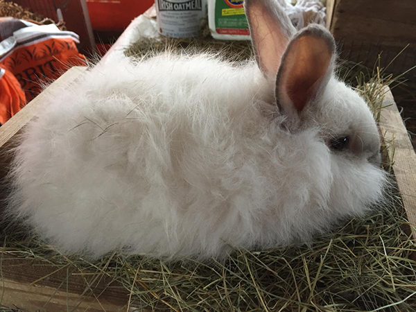 buy a rabbit in georgia French angora