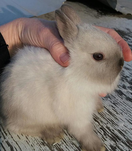 buy a rabbit in Morley Michigan