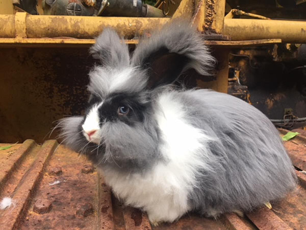 buy a rabbit in north carolina English Angora Vm buck