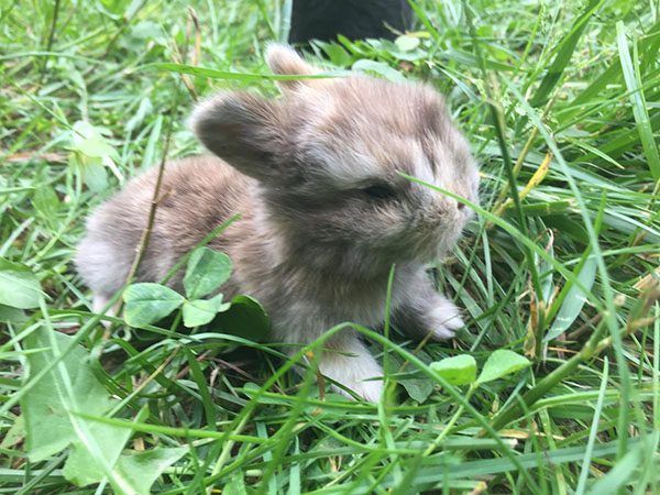 buy a rabbit in north carolina holland lop
