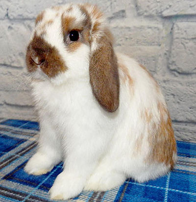 buy a rabbit in massachusetts4