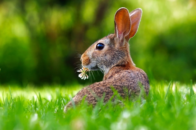can rabbits eat flowers