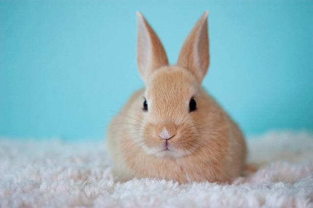 best pet rabbit breeds