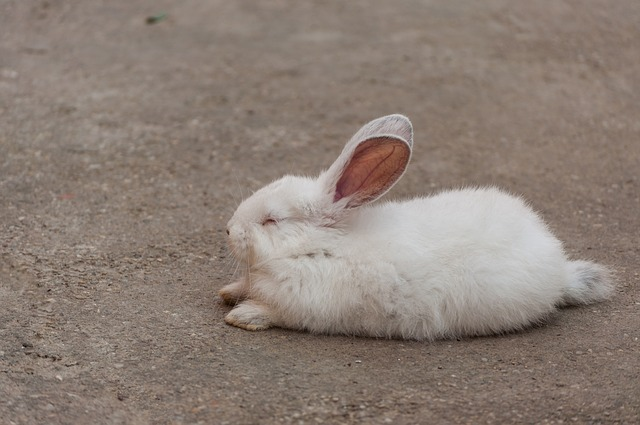 rabbit sleeping patterns