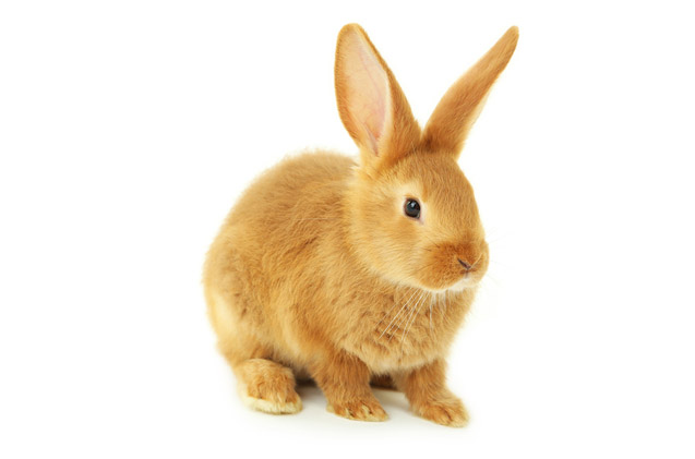 sussex rabbit breed